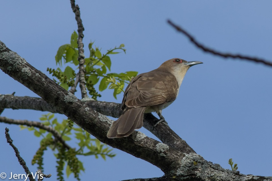 Black-billed cuckoo, Coccyzus erythropthalmus