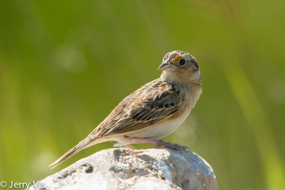 Grasshopper Sparrow, Ammodramus savannarum