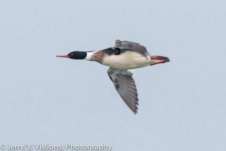 Male red-breasted merganser in flight