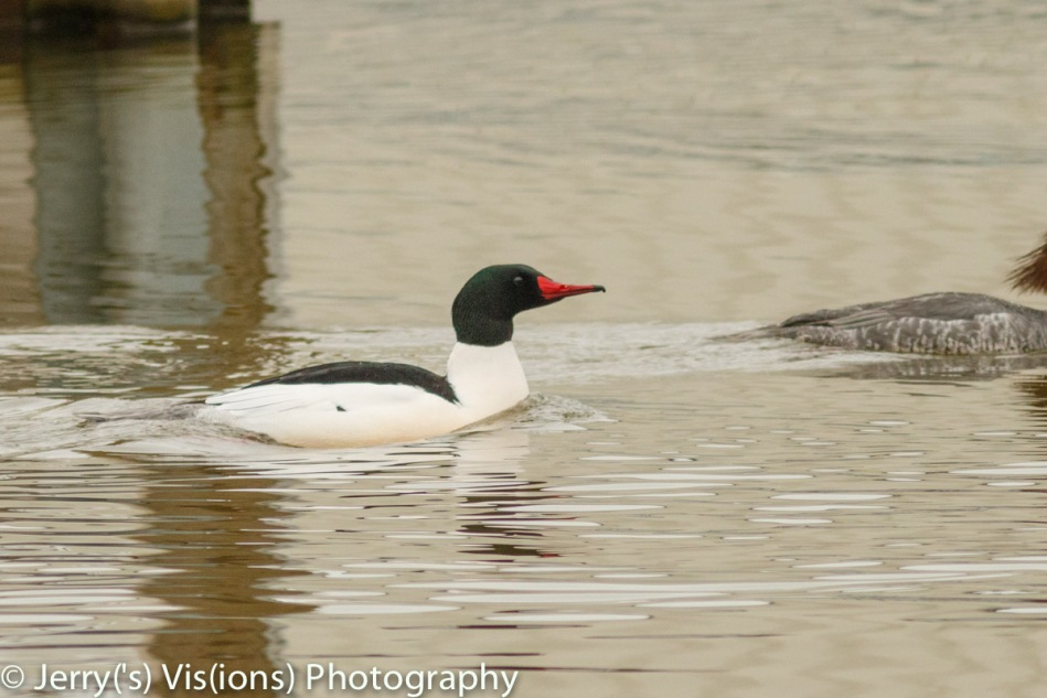 Male common merganser