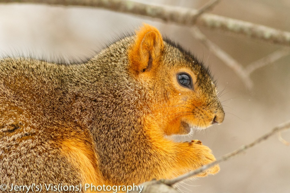 Fox squirrel eating an acorn