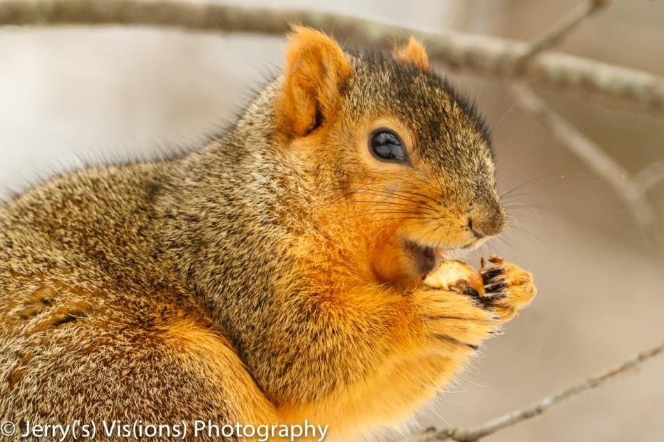 Fox squirrel eating an acorn