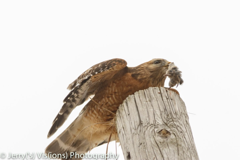 Red-shouldered hawk with lunch