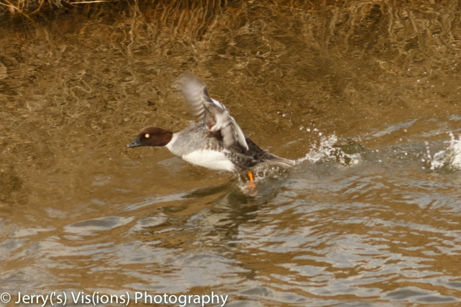 Female common goldeneye taking flight