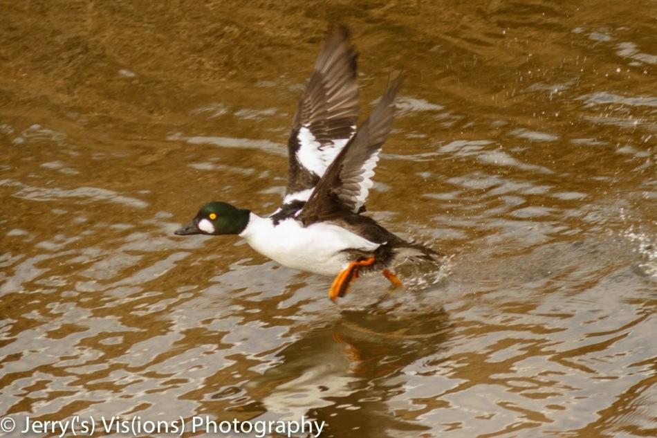 Male common goldeneye taking flight