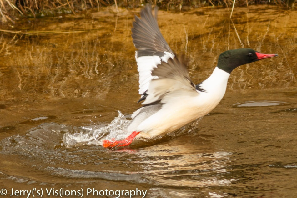 Male common merganser taking flight