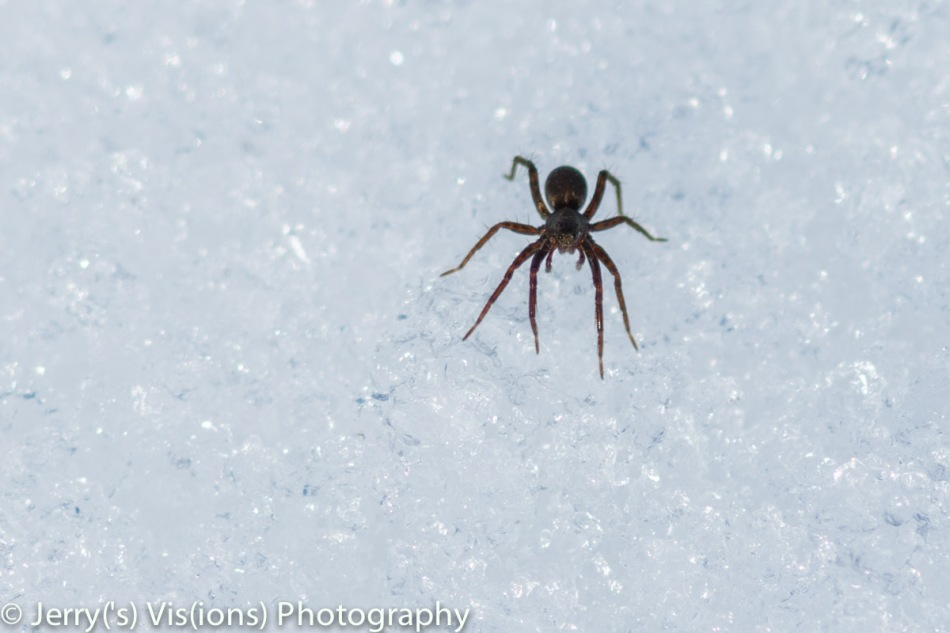 Spider on the snow