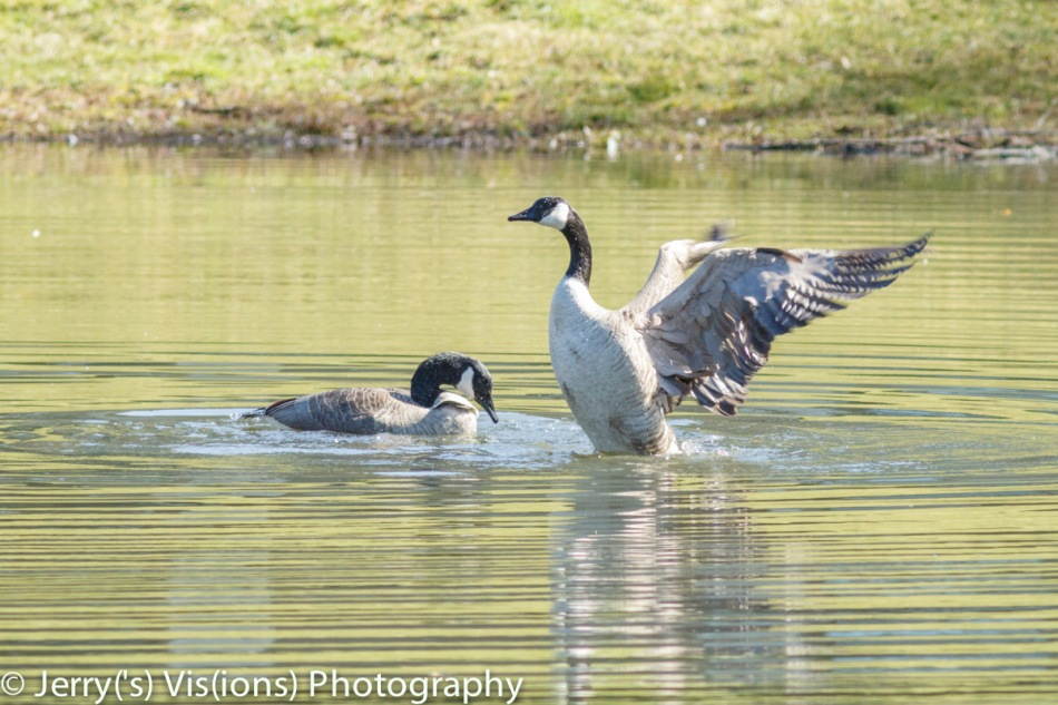 Canada geese after mating