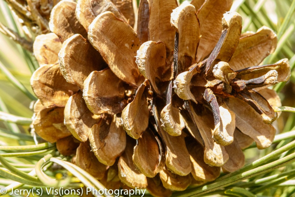 Pine cone fully open