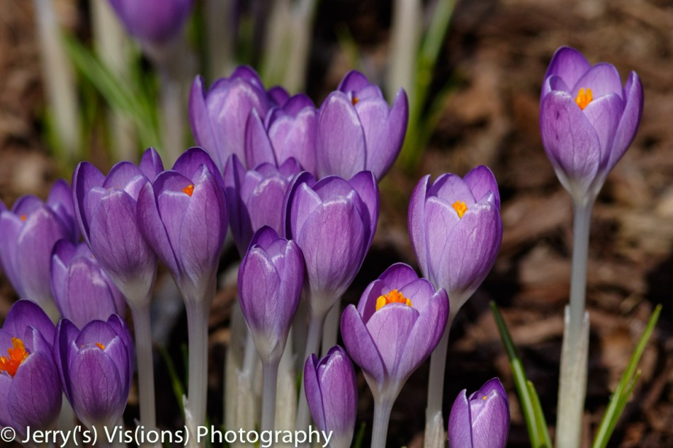 Blue crocus, 600 mm