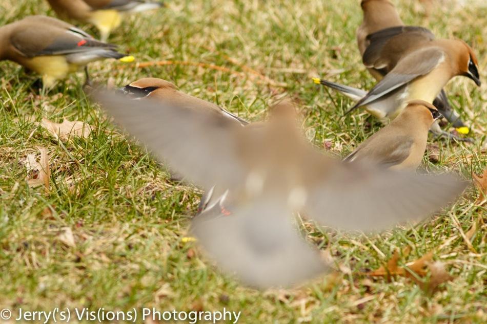 Cedar waxwing feeding frenzy