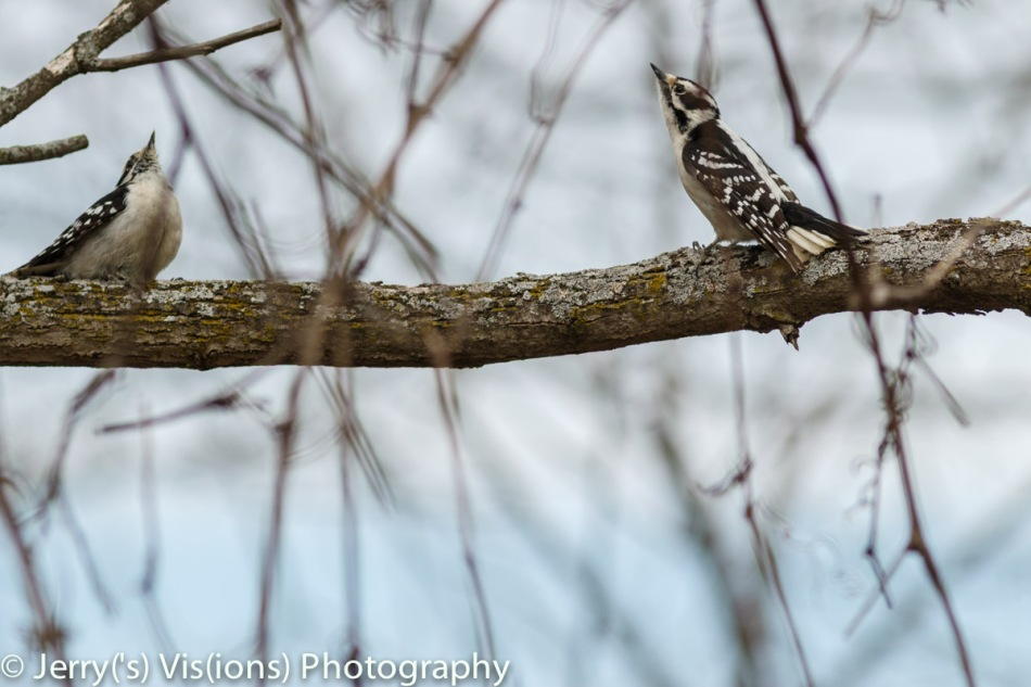 Female downy woodpeckers displaying to one another