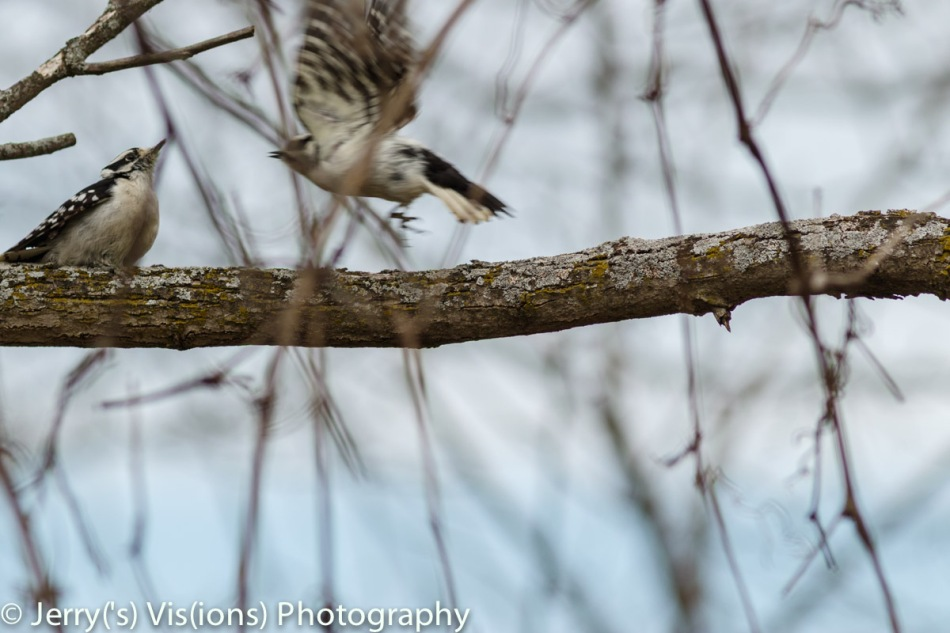 One female downy woodpecker attacking another