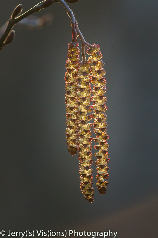 Alder catkins back lighting