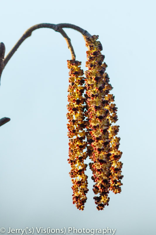 Alder catkins front lighting