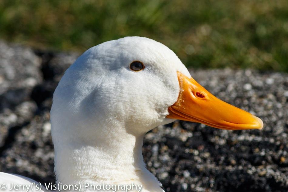 Pekin duck basking in the sun