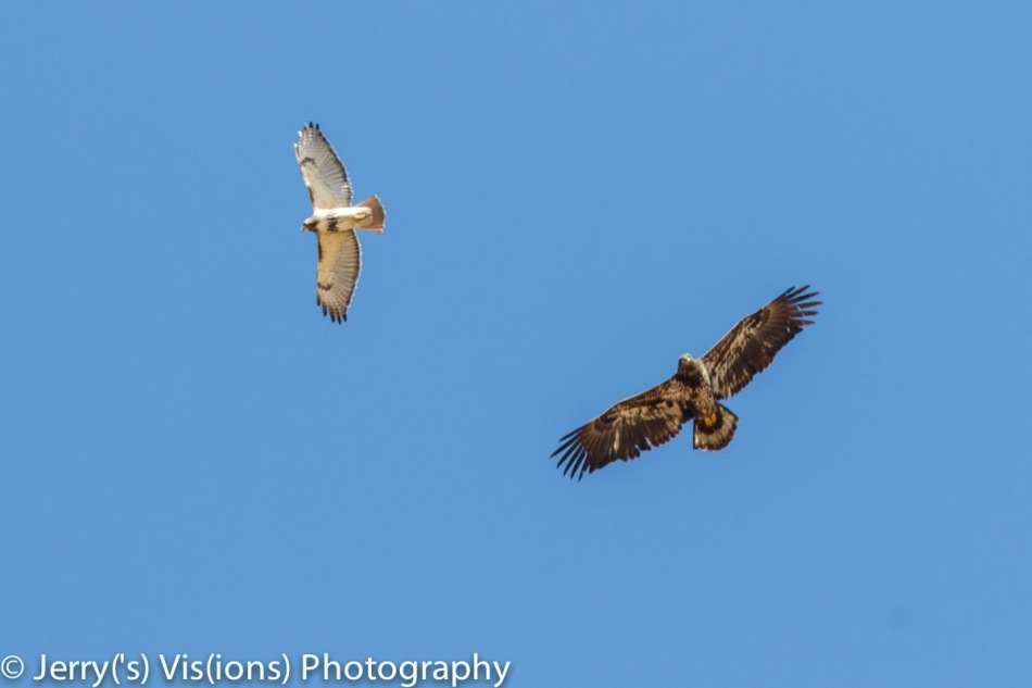 Juvenile bald eagle and red=tailed hawk sharing a thermal