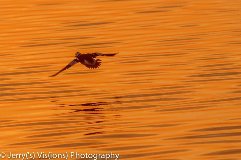 Bufflehead in flight at dawn