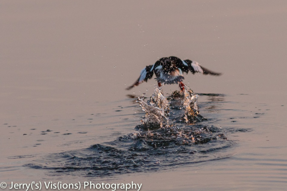 Bufflehead taking flight