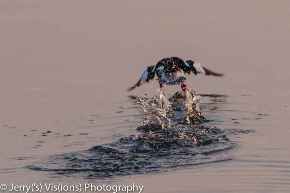 Bufflehead taking flight