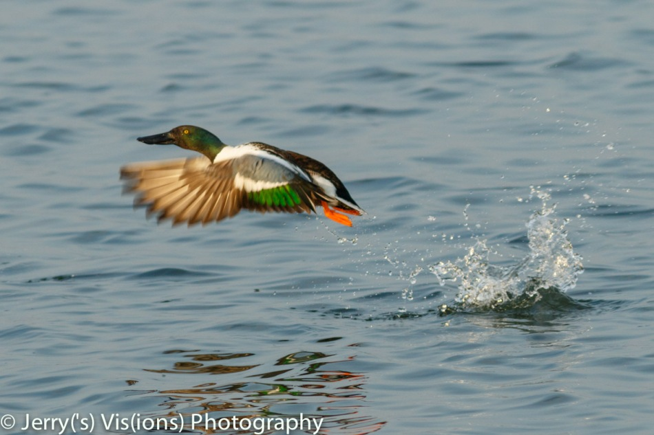Male northern shoveler taking off