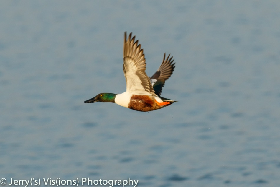 Male northern shoveler in flight