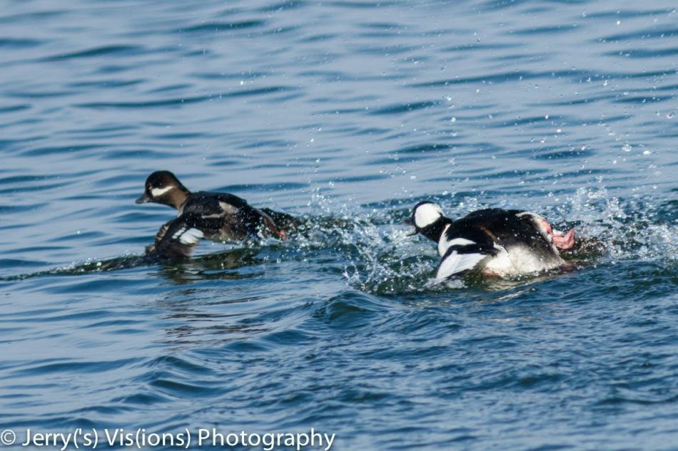 Male bufflehead chasing a female