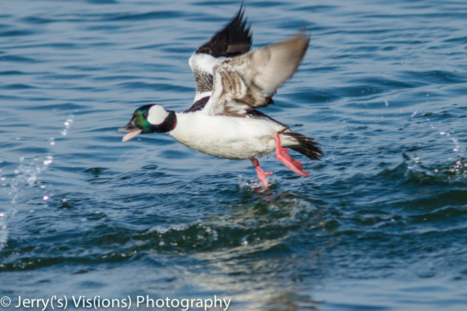 Male bufflehead chasing a female