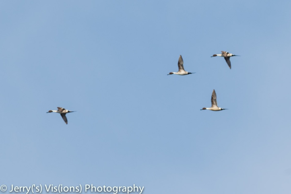 Northern pintail ducks in flight