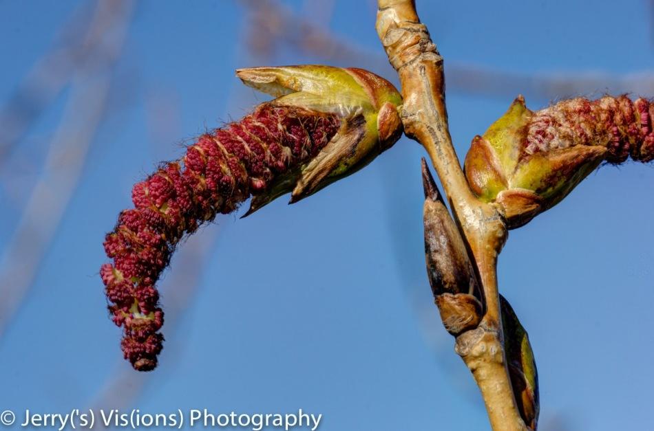 Poplar catkin