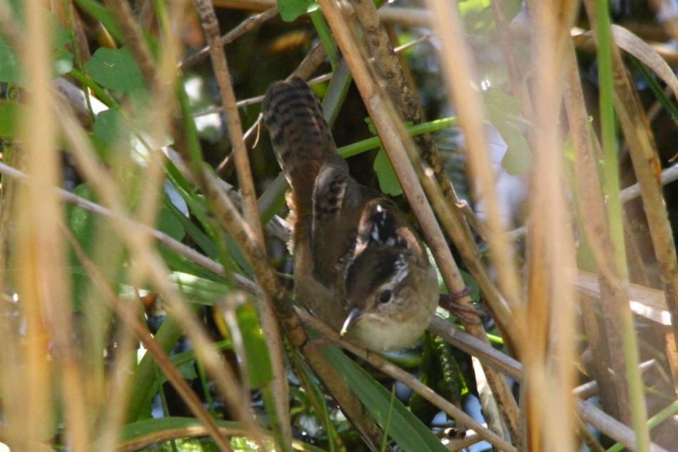 Marsh Wren, Cistothorus palustris