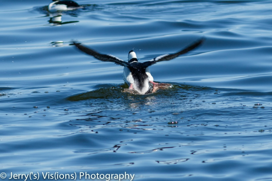 Male bufflehead taking flight