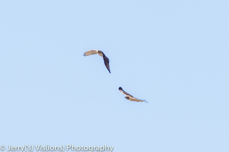 Red-tailed hawks flirting