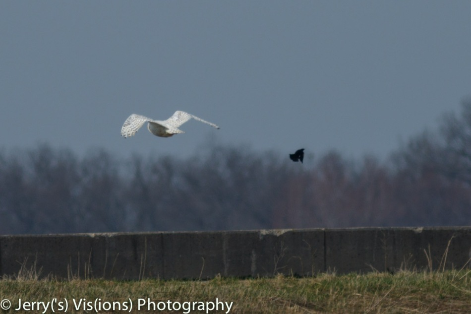 Snowy owl being attacked by a red-winged blackbird