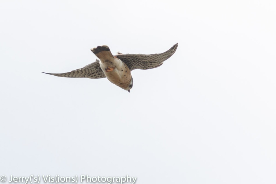 American kestrel in flight