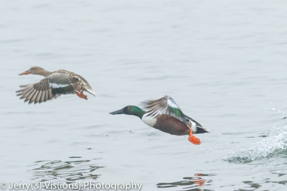 Northern shovelers taking flight
