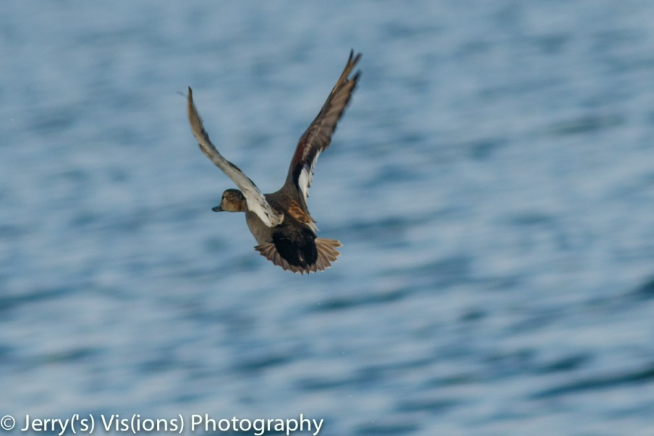 Female gadwall in flight