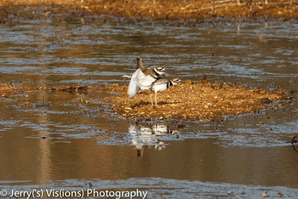Killdeer making little ones