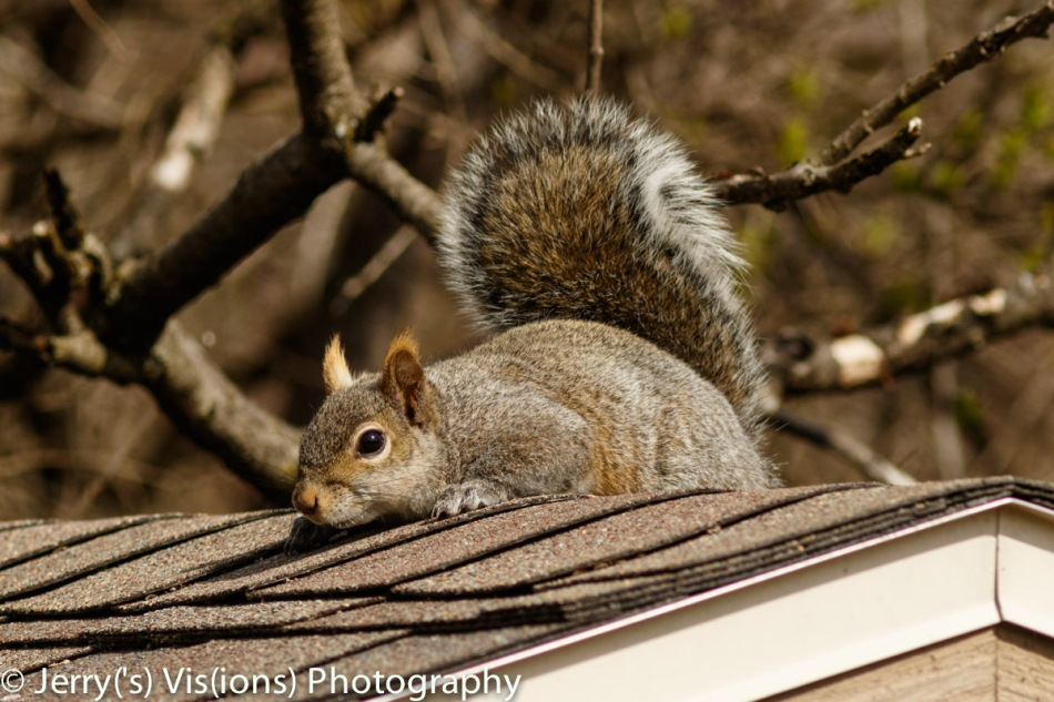 Grey squirrel basking in the sun