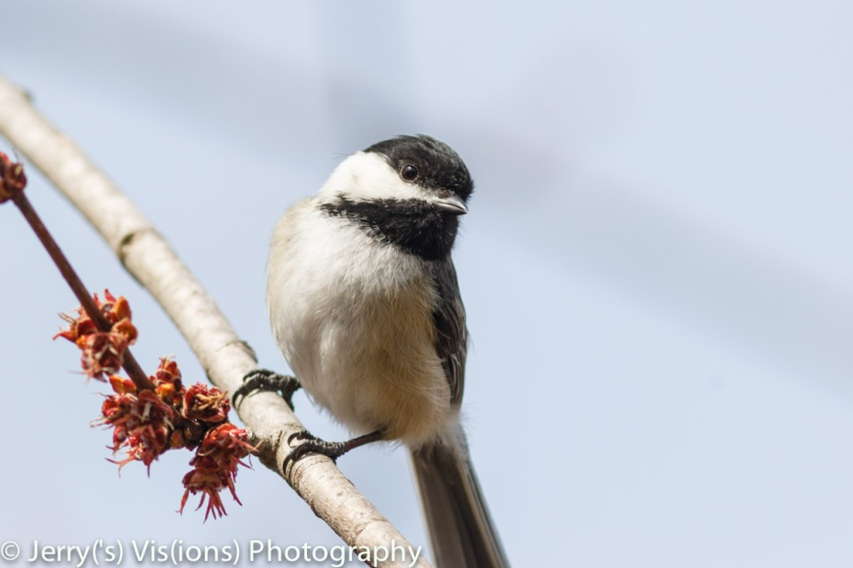 Black-capped chickadee and maple flowers