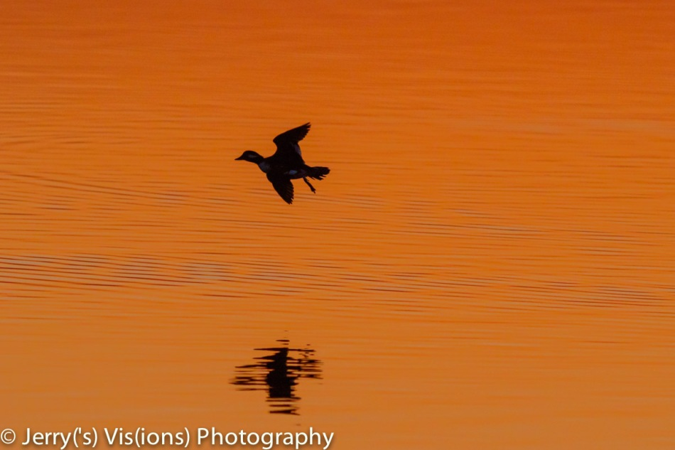 Bufflehead at dawn