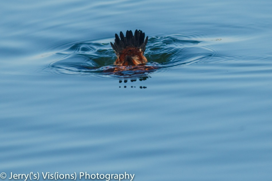 Male ruddy duck diving