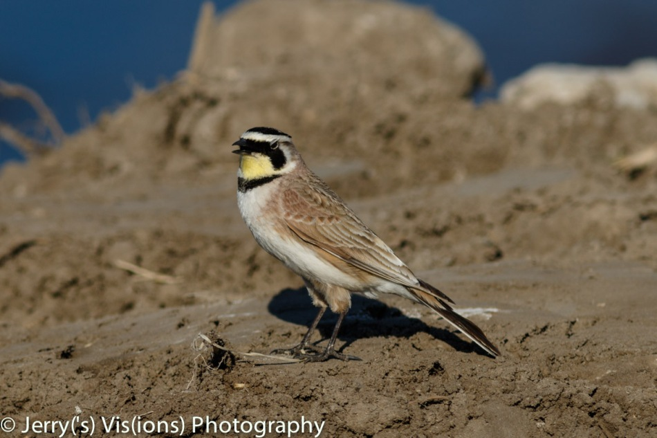 Male horned lark singing