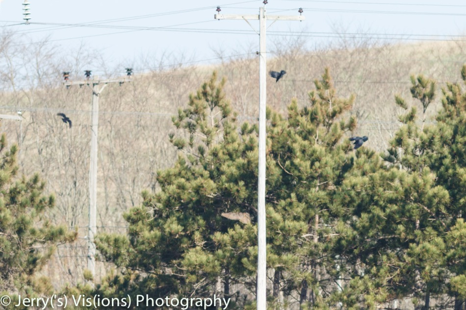 Great horned owl being mobbed by crows