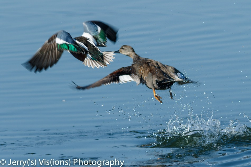 Male northern shoveler and gadwall