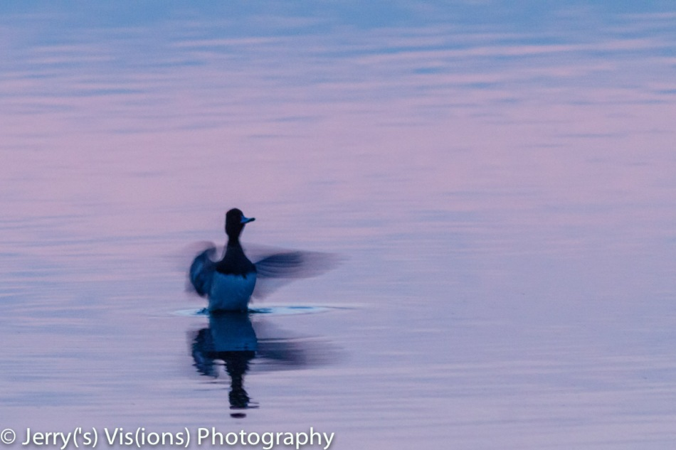 Lesser scaup at sunrise