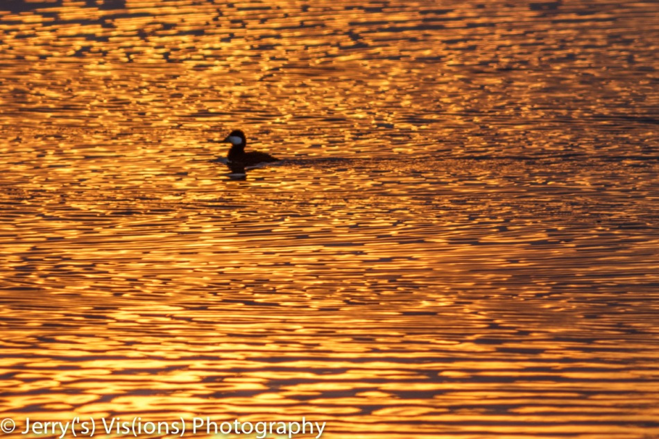 Ruddy duck at sunrise