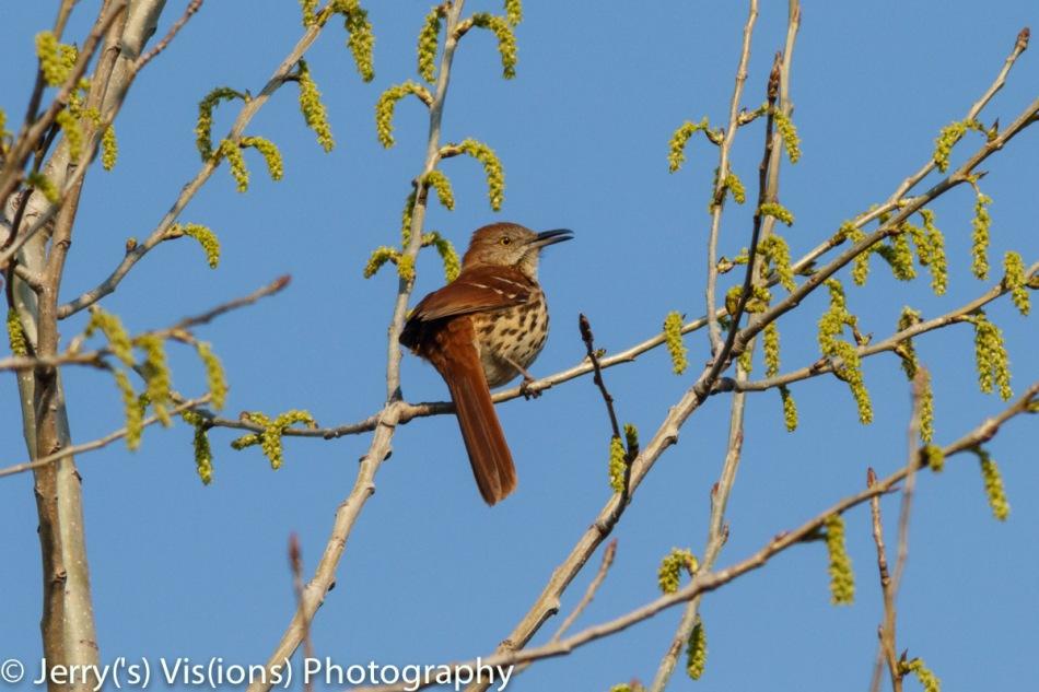 Brown thrasher singing