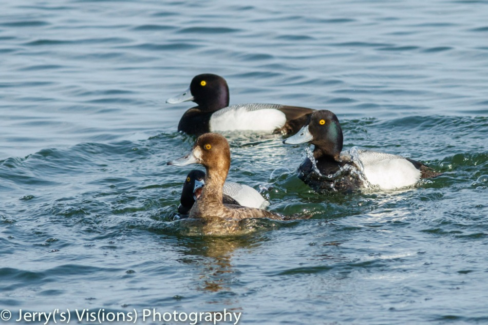 Lesser scaup mating activity