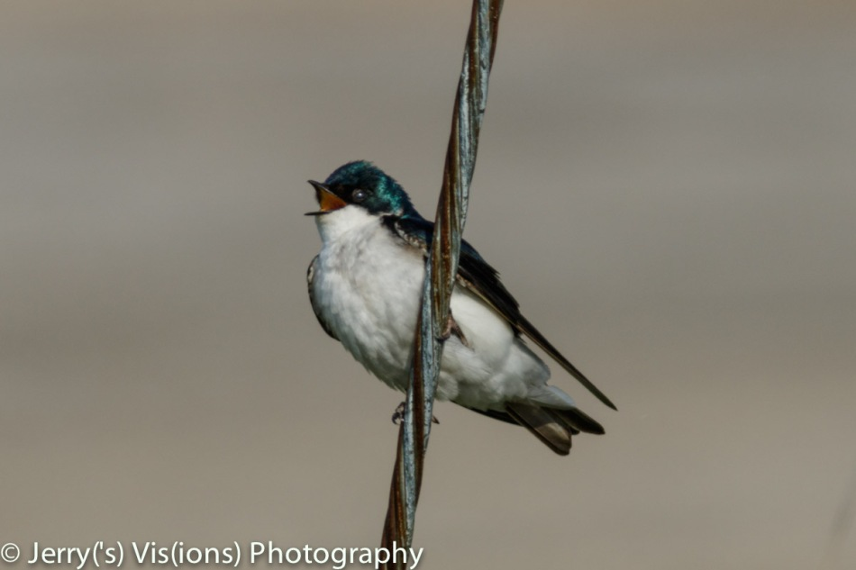 Male tree swallow singing